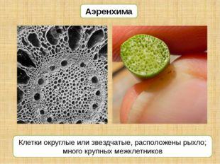 Аэренхима Клетки округлые или звездчатые, расположены рыхло; много крупных ме