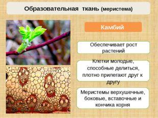 Камбий Меристемы верхушечные, боковые, вставочные и кончика корня Образовател