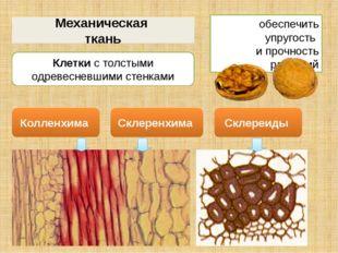 Механическая ткань обеспечить упругость и прочность растений Клетки с толстым