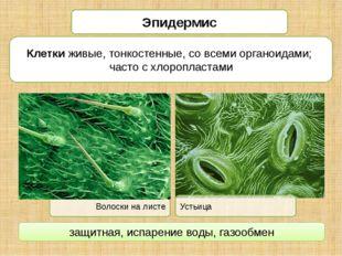 Эпидермис Клетки живые, тонкостенные, со всеми органоидами; часто с хлороплас