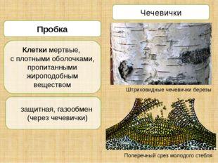 Чечевички Штриховидные чечевички березы Поперечный срез молодого стебля Пробк