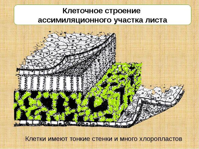 Клеточное строение ассимиляционного участка листа Клетки имеют тонкие стенки...