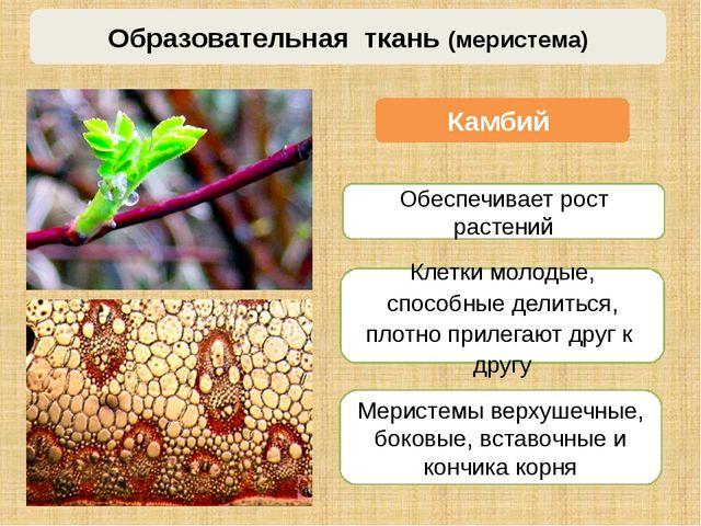 Камбий Меристемы верхушечные, боковые, вставочные и кончика корня Образовател...