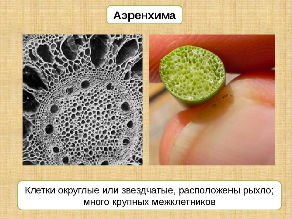 Аэренхима Клетки округлые или звездчатые, расположены рыхло; много крупных ме...