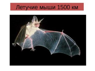 Летучие мыши 1500 км