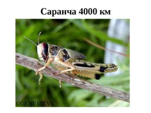 Саранча 4000 км
