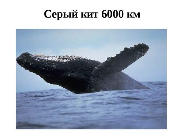 Серый кит 6000 км