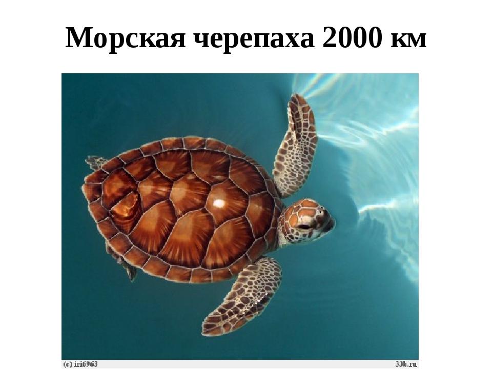 Морская черепаха 2000 км
