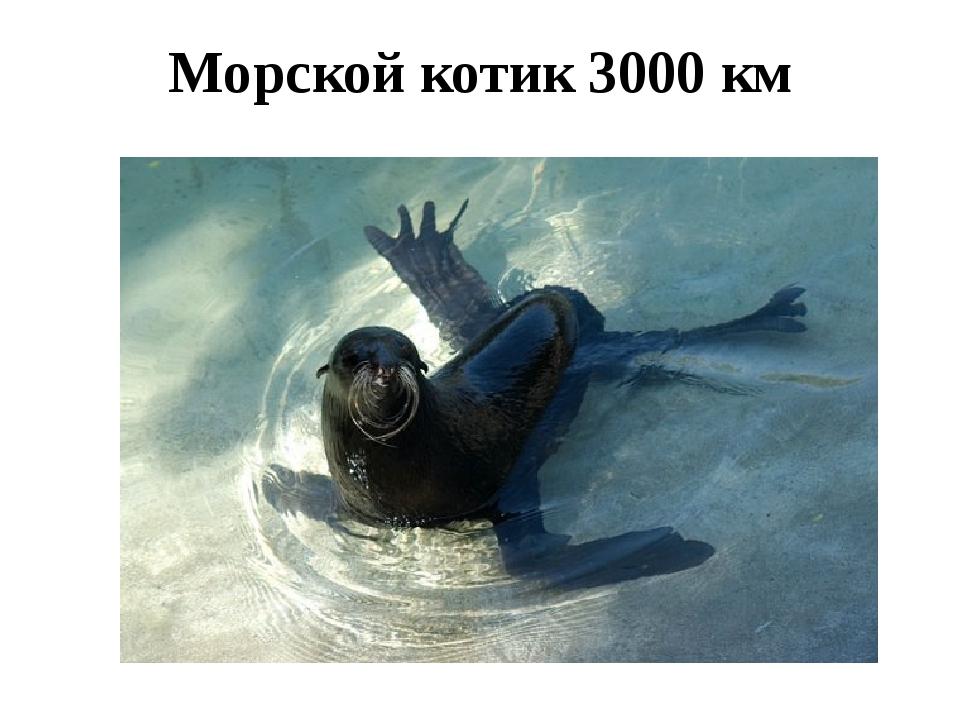 Морской котик 3000 км