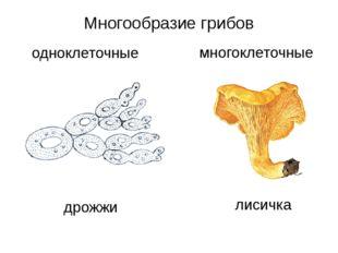 Многообразие грибов одноклеточные многоклеточные дрожжи лисичка