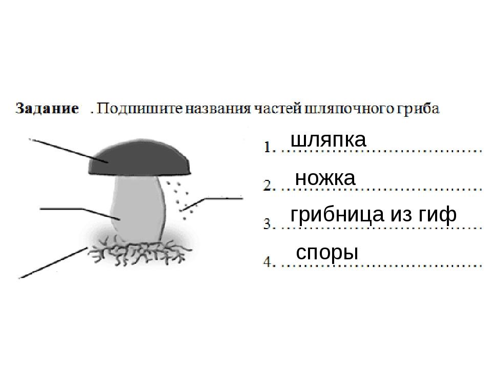 шляпка ножка грибница из гиф споры