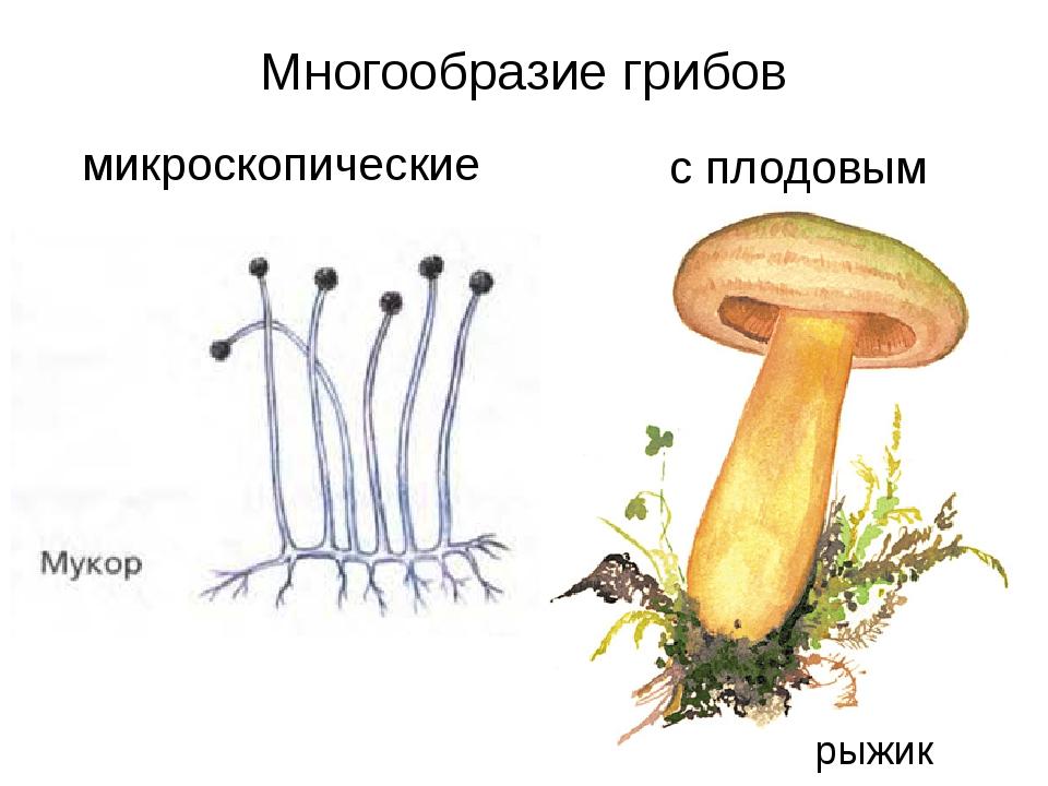 Многообразие грибов микроскопические с плодовым телом рыжик