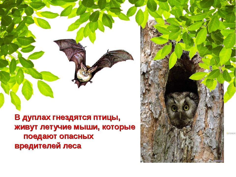 В дуплах гнездятся птицы, живут летучие мыши, которые поедают опасных вредите...