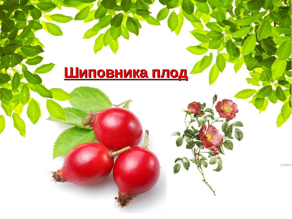 Шиповника плод