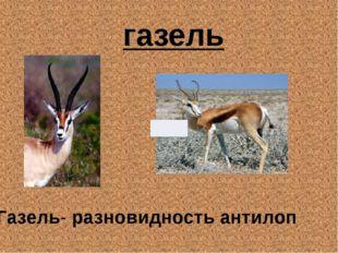 газель Газель- разновидность антилоп
