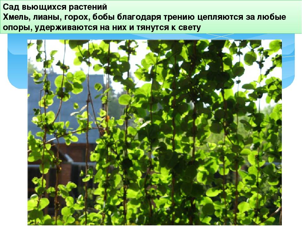 Сад вьющихся растений Хмель, лианы, горох, бобы благодаря трению цепляются за...