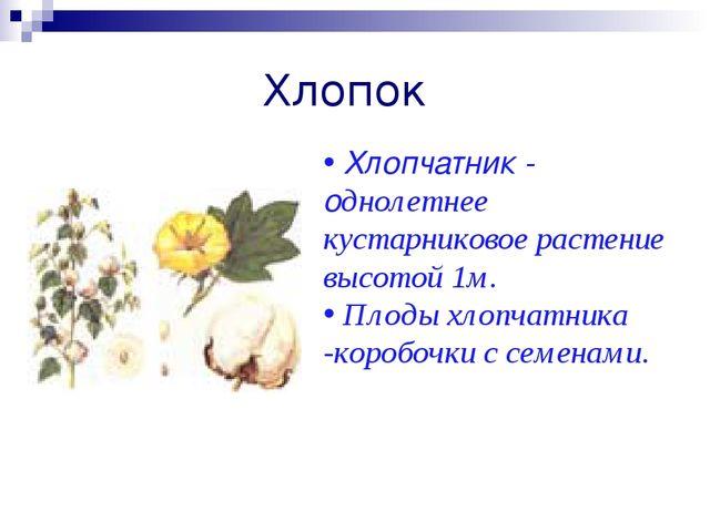Хлопок Хлопчатник - однолетнее кустарниковое растение высотой 1м. Плоды хлопч...