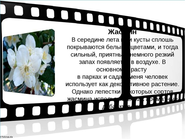 Жасмин В середине лета мои кусты сплошь покрываются белыми цветами, и тогда...