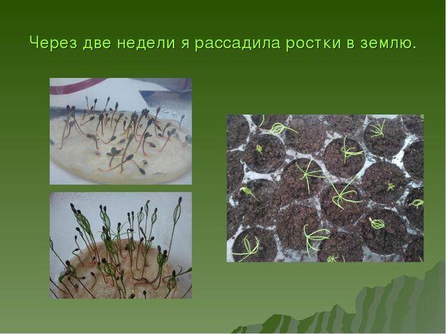 Через две недели я рассадила ростки в землю.