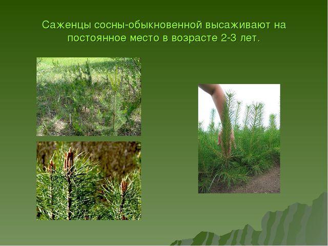 Саженцы сосны-обыкновенной высаживают на постоянное место в возрасте 2-3 лет.