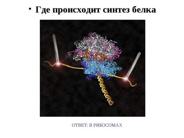 Где происходит синтез белка ОТВЕТ: В РИБОСОМАХ