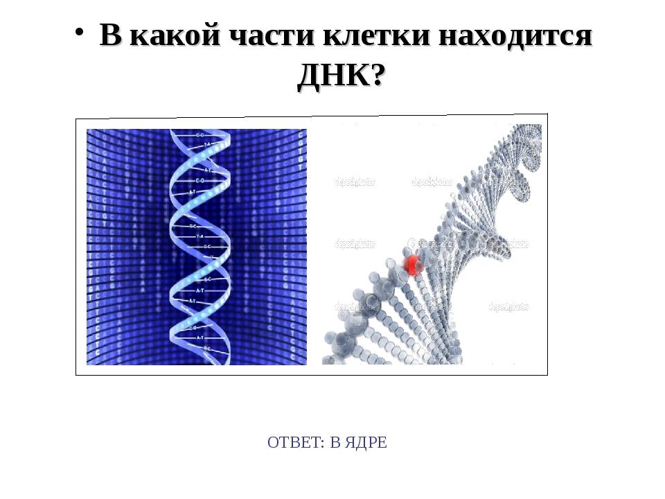 В какой части клетки находится ДНК? ОТВЕТ: В ЯДРЕ