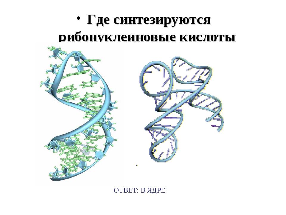 Где синтезируются рибонуклеиновые кислоты ОТВЕТ: В ЯДРЕ