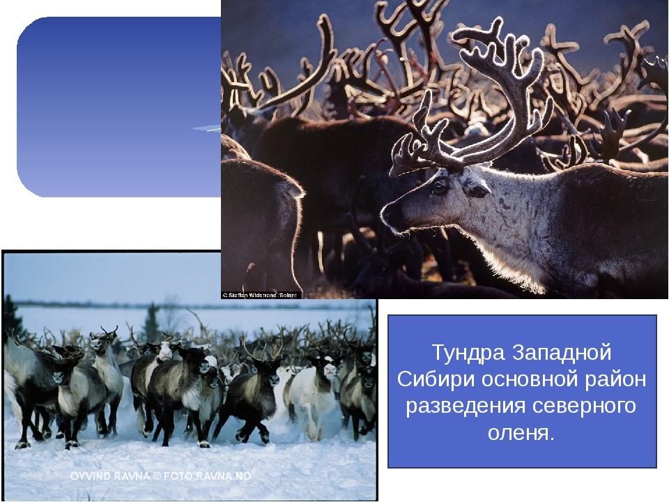 Тундра Западной Сибири основной район разведения северного оленя.