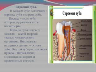 Строение зуба. В каждом зубе различают : коронку зуба и корень зуба. Корень