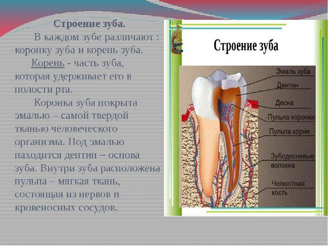 Строение зуба. В каждом зубе различают : коронку зуба и корень зуба. Корень...