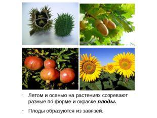 Летом и осенью на растениях созревают разные по форме и окраске плоды. Плоды