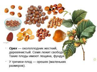 Орех — околоплодник жесткий, деревянистый. Семя лежит свободно. Такие плоды и
