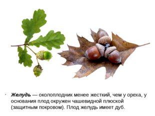 Желудь — околоплодник менее жесткий, чем у ореха, у основания плод окружен ча