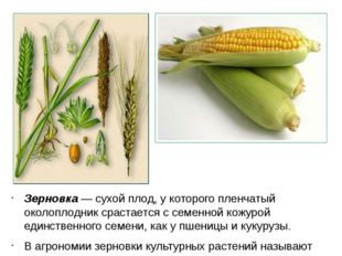 Зерновка — сухой плод, у которого пленчатый околоплодник срастается с семенно