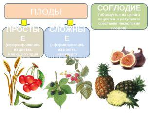 ПЛОДЫ СЛОЖНЫЕ (сформировались из цветка, имеющего несколько пестиков) ПРОСТЫЕ