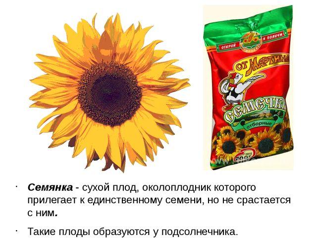 Семянка - сухой плод, околоплодник которого прилегает к единственному семени,...