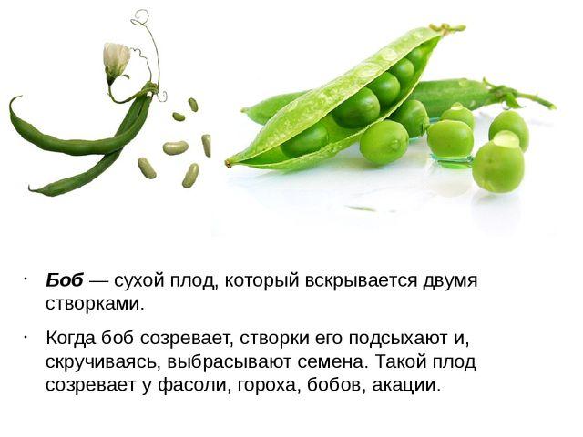 Боб — сухой плод, который вскрывается двумя створками. Когда боб созревает, с...