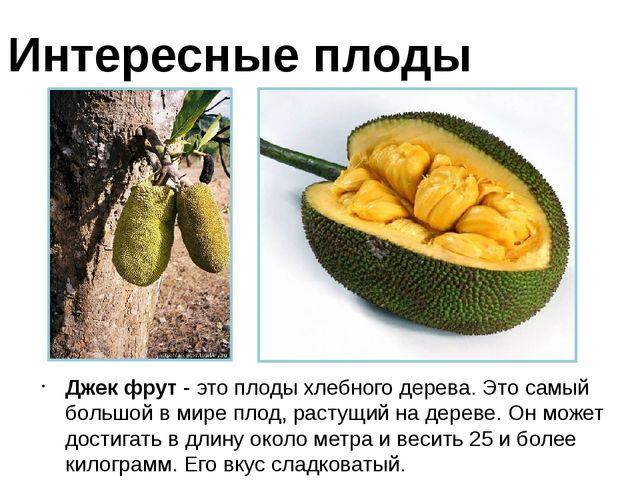Джек фрут - это плоды хлебного дерева. Это самый большой в мире плод, растущи...