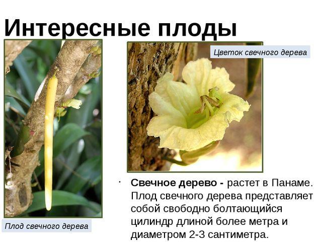 Свечное дерево - растет в Панаме. Плод свечного дерева представляет собой сво...