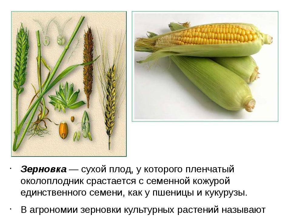 Зерновка — сухой плод, у которого пленчатый околоплодник срастается с семенно...