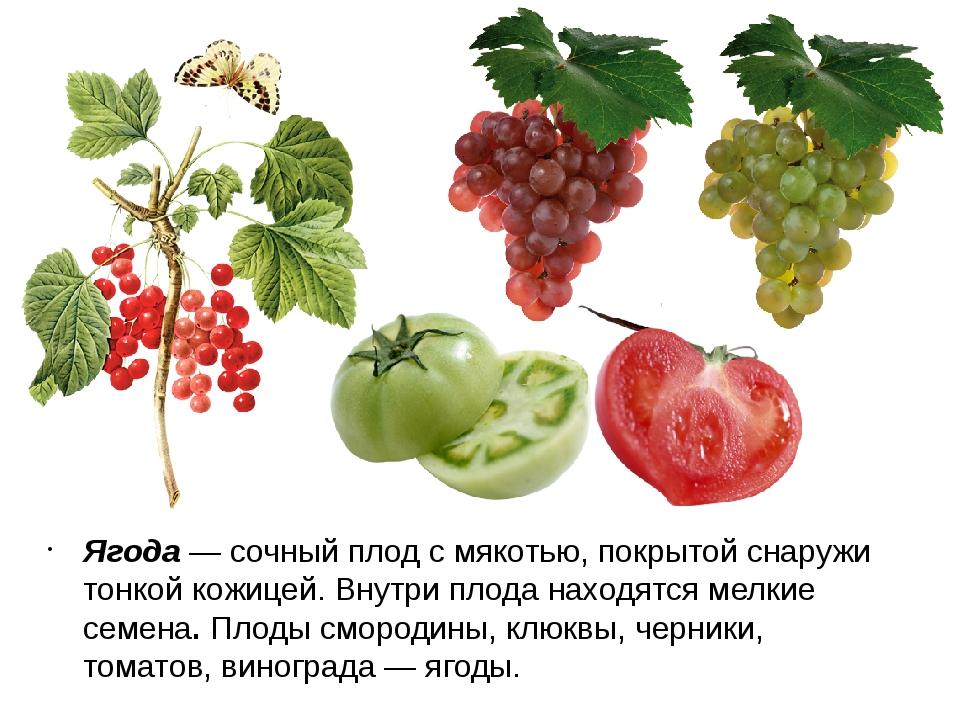 Ягода — сочный плод с мякотью, покрытой снаружи тонкой кожицей. Внутри плода...