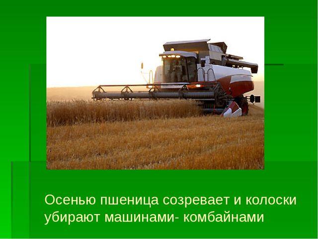 Осенью пшеница созревает и колоски убирают машинами- комбайнами
