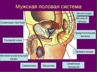 Мужская половая система Мочевой пузырь Мочеточник Семенные протоки Предстател
