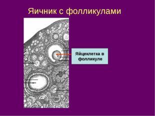 Яичник с фолликулами Яйцеклетка в фолликуле