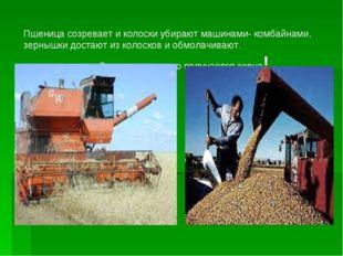 Пшеница созревает и колоски убирают машинами- комбайнами, зернышки достают из