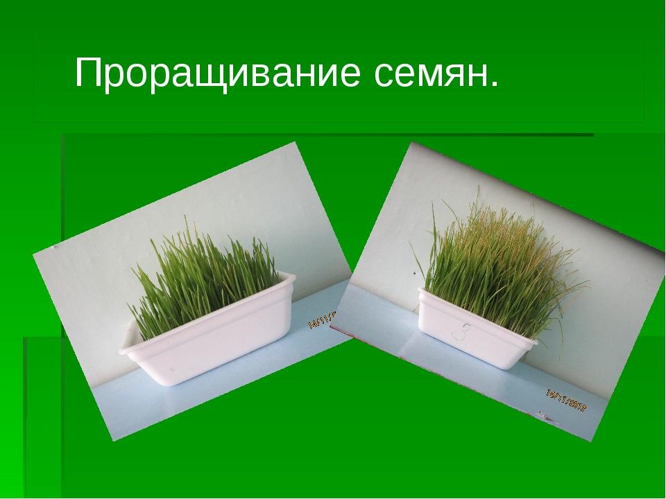 Проращивание семян.