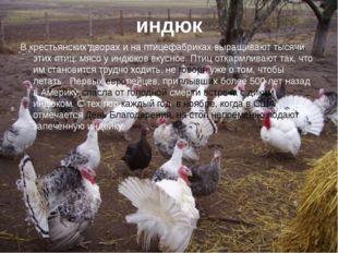 индюк В крестьянских дворах и на птицефабриках выращивают тысячи этих птиц: м
