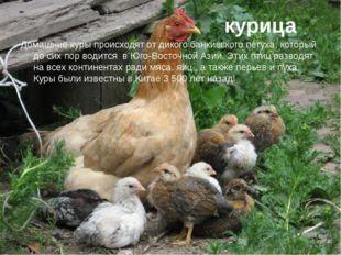 курица Домашние куры происходят от дикого банкивского петуха, который до сих