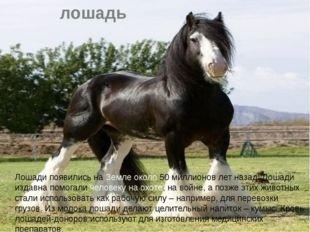 лошадь Лошади появились на Земле около 50 миллионов лет назад. Лошади издавна