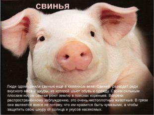 свинья Люди одомашнили свинью ещё в каменном веке. Свиней разводят ради вкусн